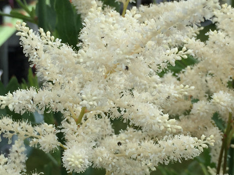 Image of Astilbe 'Washington' (Japonica hybrid)