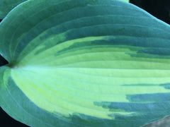 Image of Hosta 'Dinner Jacket' - Plantain lily variety