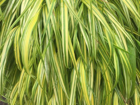 Image of Hakonechloa macra 'Aureola' [AGM] - Golden Hakone grass, Golden Japanese forest grass