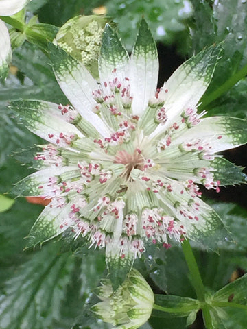 Image of Astrantia major subsp. involucrata 'Shaggy' [AGM] - Masterwort variety