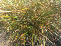 Image of Anemanthele lessoniana [AGM] - Pheasant grass, New Zealand wind grass