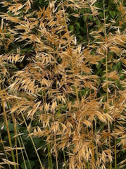 Image of Stipa gigantea [AGM] - Golden oats