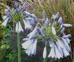 Image of Agapanthus 'Sky' - Nile lily variety