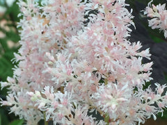Image of Astilbe x rosea 'Peach Blossom'