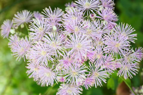 Image of Thalictrum aquilegifolium - French meadow rue
