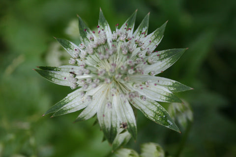 Image of Astrantia 'Superstar' (PBR) - Masterwort variety, Hattie's pincushion variety