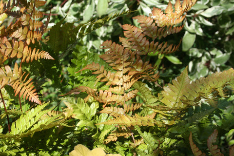 Image of Dryopteris erythrosora [AGM] - Japanese shield fern