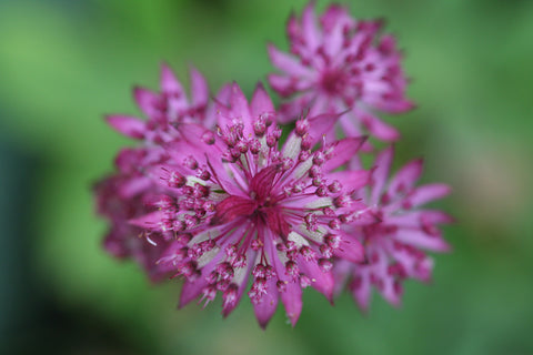 Image of Astrantia 'Ruby Wedding' - Masterwort variety, Hattie's pincushion variety