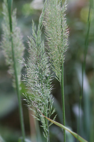 Image of Calamagrostis brachytricha [AGM] - The Korean Feather Reed Grass