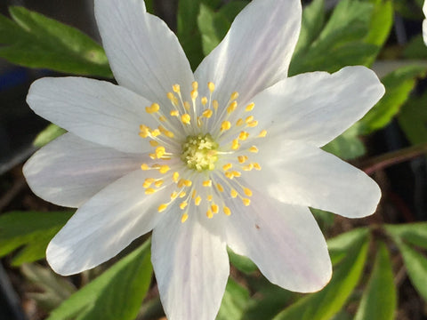 Image of Anemone nemorosa - Wood anemone, Lady's nightcap