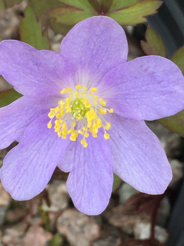 Image of Anemone nemorosa 'Bowles' Purple' - Wood anemone variety