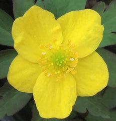 Image of Anemone ranunculoides [AGM] - Wood ginger, Yellow anemone