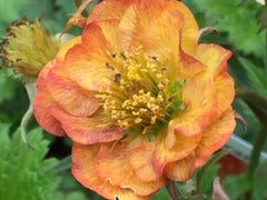 Image of Geum 'Alabama Slammer' (PBR)