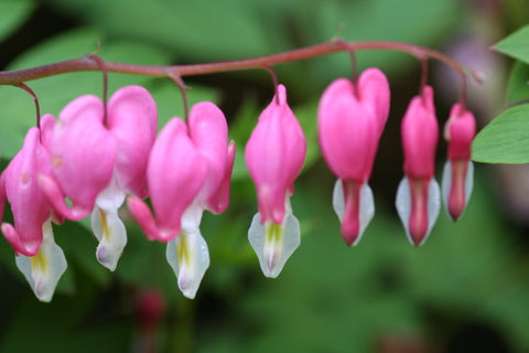 Image of Lamprocapnos spectabilis (syn. Dicentra spectabilis) [AGM] - Bleeding Heart, Lady in the Bath, Dutchman's Breeches