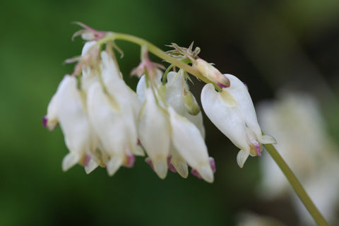 Image of Dicentra 'Aurora' - Bleeding heart variety