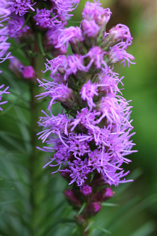 Image of Liatris spicata 'Kobold' - Plume feather, Button snakewort variety