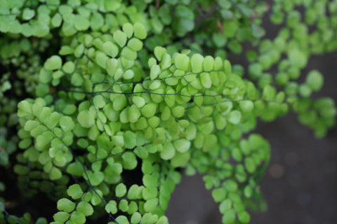 Image of Adiantum venustum [AGM] - Evergreen maidenhair fern
