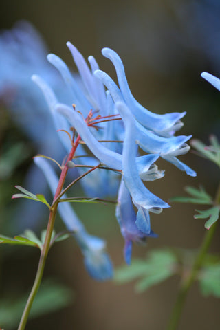 Image of Corydalis flexuosa 'Pere David'