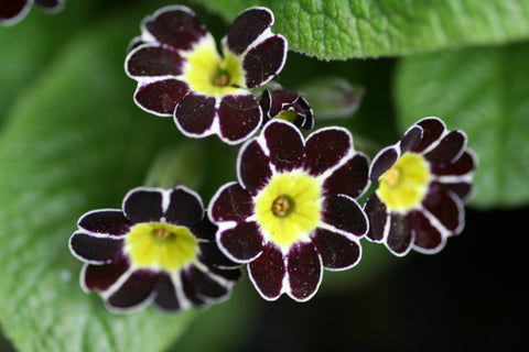 Image of Primula Silver-Laced Group black-flowered