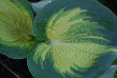 Image of Hosta 'Frances Williams' (Sieboldiana) [AGM] - Plantain lily variety