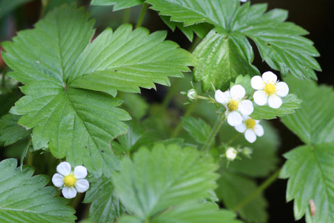Image of Fragaria vesca - Wild strawberry, Alpine strawberry