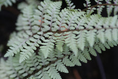Image of Athyrium 'Ghost' [AGM]