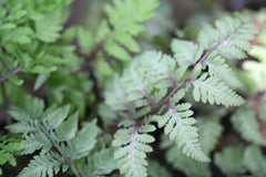 Image of Athyrium niponicum var. pictum 'Red Beauty'