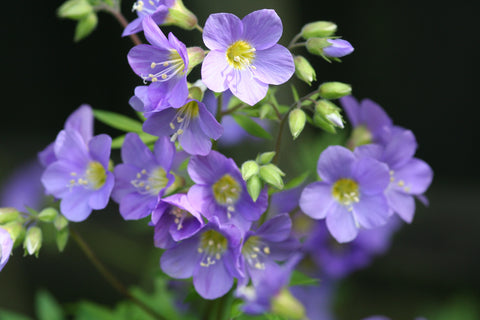 Image of Polemonium 'Pink Beauty' - Jacob's ladder variety