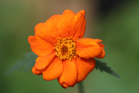Image of Geum 'Prinses Juliana'