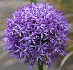 Image of Allium 'Globemaster' [AGM]