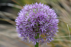 Image of Allium 'Round and Purple'