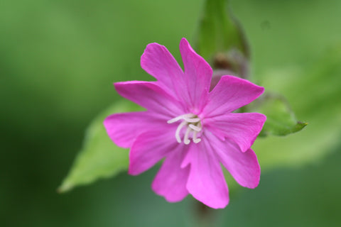 Image of Silene dioica - Red Campion