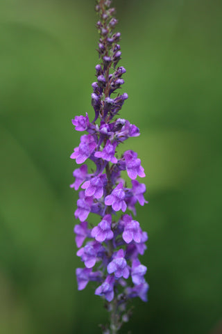 Image of Linaria purpurea - Purple Toadflax