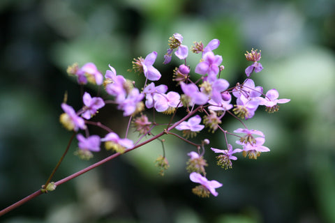 Image of Thalictrum rochebruneanum - Meadow rue variety
