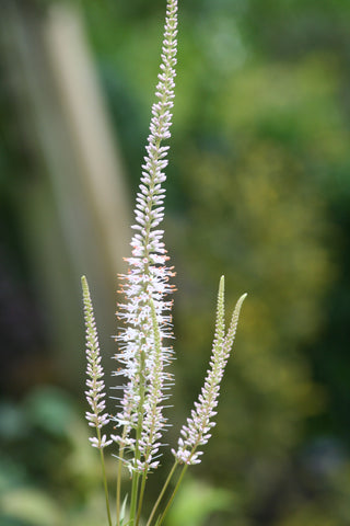 Image of Veronicastrum virginicum 'Album' [AGM]