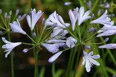 Image of Agapanthus 'Streamline' - Nile lily variety