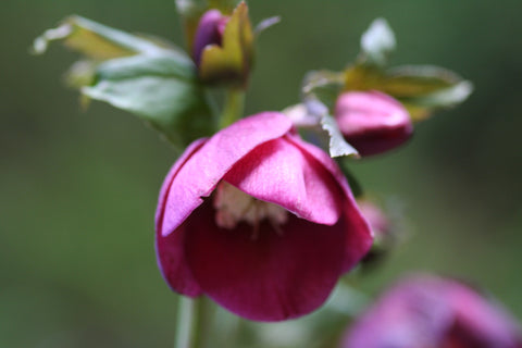 Image of Helleborus x hybridus 'Red Lady' (Lady Series)