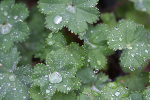 Image of Alchemilla erythropoda (Cepa Group) 'Alma' - Dwarf lady's mantle