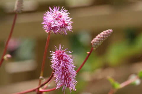 Image of Sanguisorba hakusanensis - Korean Burnet