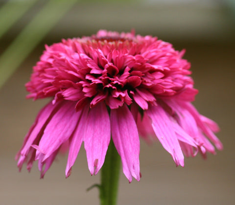 Image of Echinacea 'Secret Passion' (PBR) - Coneflower variety