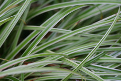 Image of Carex 'Ice Dance' - Sedge variety