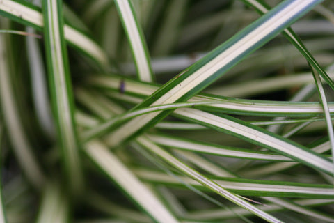 Image of Carex oshimensis 'Evergold' [AGM] - sedge variety