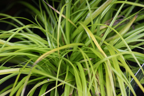 Image of Carex oshimensis 'Everillo' (PBR) - Sedge variety
