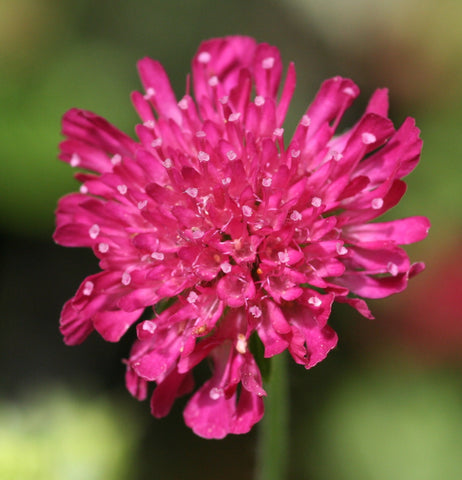 Image of Knautia macedonica 'Thunder and Lightning' (PBR) - Macedonian scabious variety