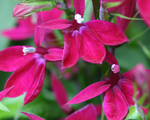 Image of Lobelia x speciosa 'Fan Burgundy' (Fan Series)