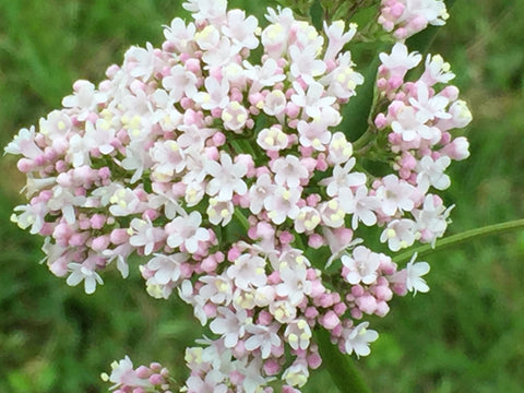 Image of Valeriana officinalis - Common valerian