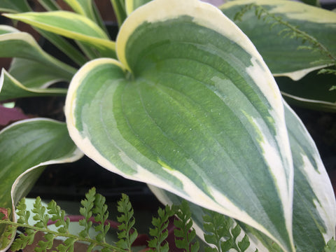 Image of Hosta 'Ivory Coast' - Plantain lily variety