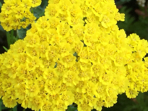 Image of Achillea 'Moonshine' [AGM] - Yarrow variety
