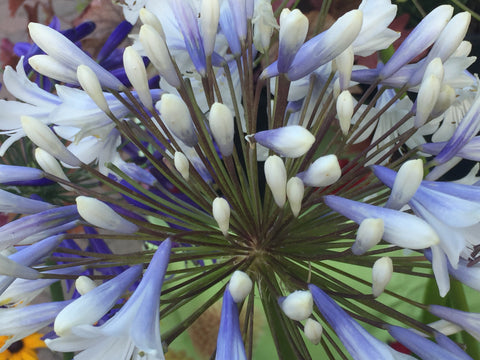 Image of Agapanthus 'Enigma' - Nile lily variety