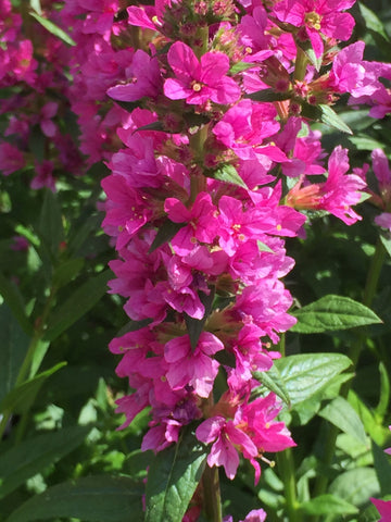 Image of Lythrum salicaria 'Robert' - Purple loosestrife variety